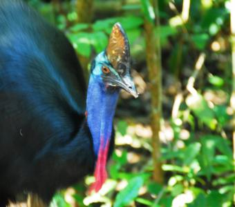 Cassowary at Cape Trib Camping