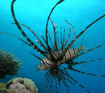 Lion Fish on Great Barrier Reef off Cape Tribulation